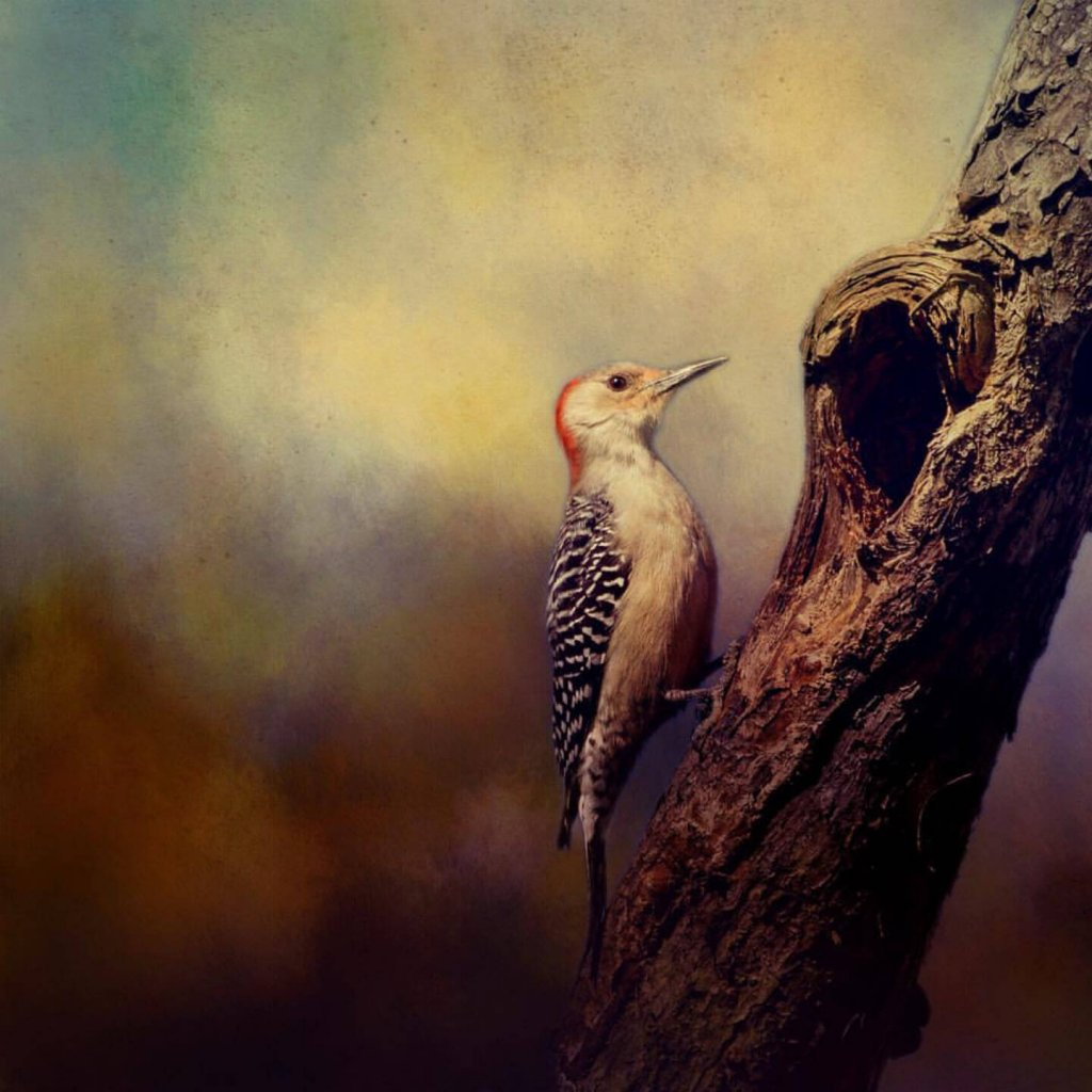 An image of a Red Bellied Woodpecker by featured artist, Susie Nishio